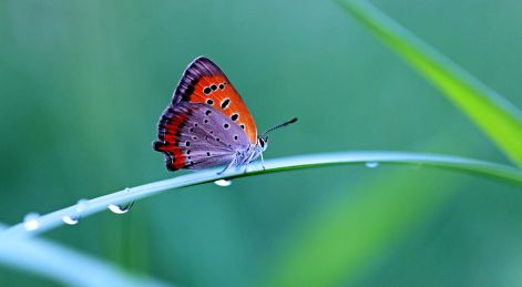 a red and purple butterfly stitting on a blade of grass