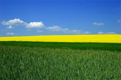 a green and yellow canola field and a bright blue sky